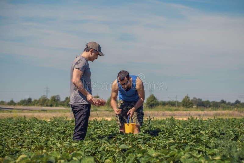 Deux hommes moissonnent des fraises sur un champ en Allemagne image stock