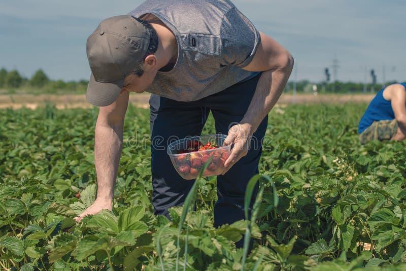 Deux hommes moissonnent des fraises sur un champ en Allemagne photographie stock