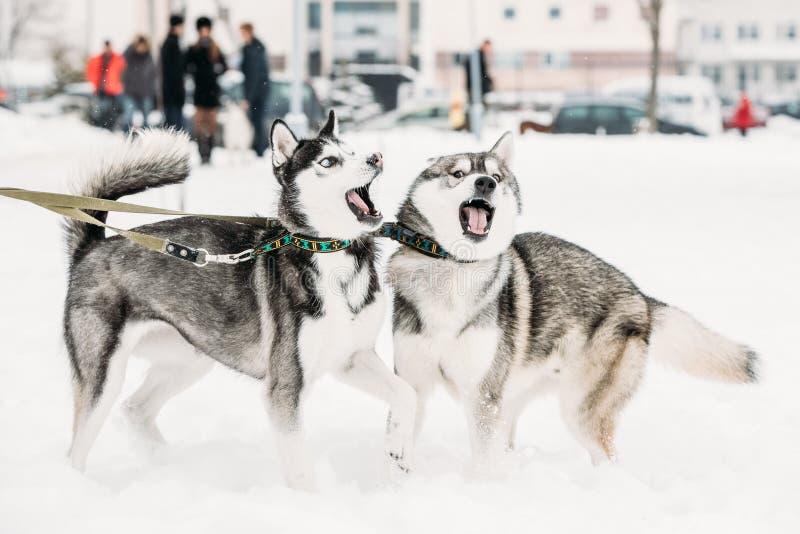 Deux Husky Dogs Play Together Outdoor drôle dans la neige au jour d'hiver image libre de droits