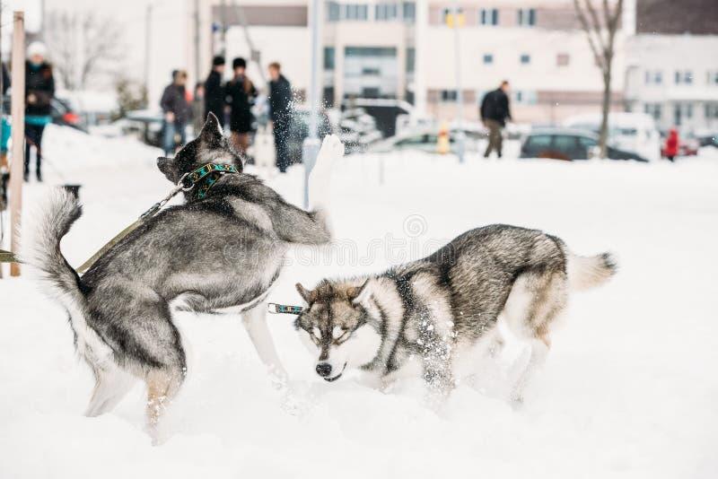 Deux Husky Dogs Play Together Outdoor drôle dans la neige au jour d'hiver photos stock