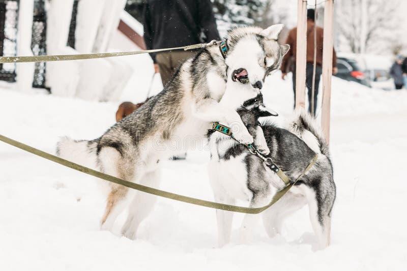 Deux Husky Dogs Play Together Outdoor drôle dans la neige au jour d'hiver photos libres de droits