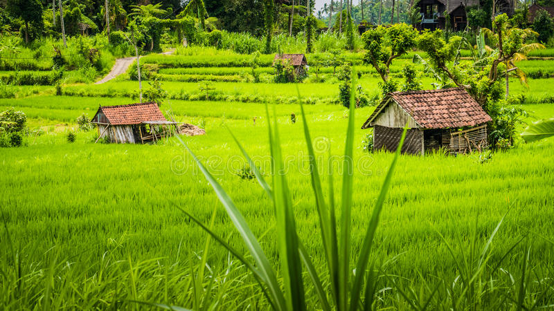 Deux huttes dans le tarrace vert luxuriant de riz dans les accompagnateurs, Bali, Indonésie photographie stock libre de droits