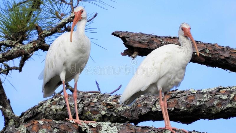 Deux Ibises blancs dans l'arbre image stock