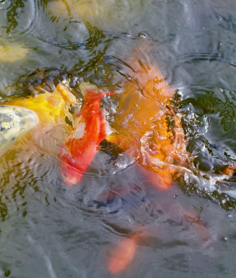 Deux jaunes et un poisson de Koi d'or photos libres de droits