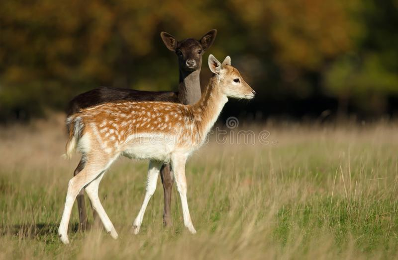 Deux jeunes cerfs communs affrichés dans le pré images stock