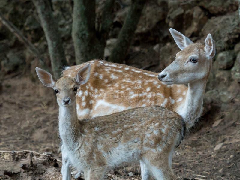 Deux jeunes cerfs communs de dama de Cervus image libre de droits