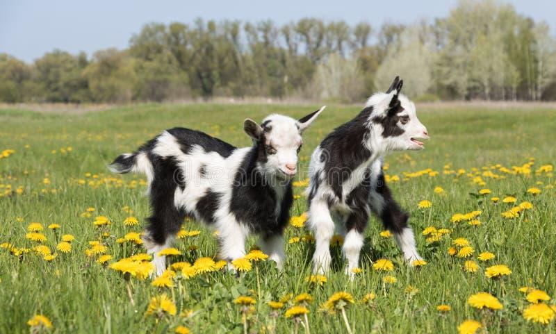 Deux jeunes chèvres drôles en pissenlits photographie stock