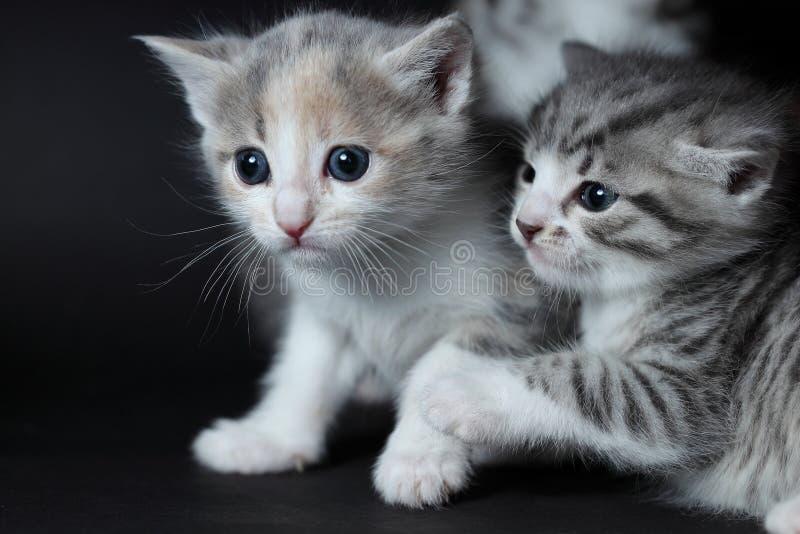 Deux jeunes chats jouent photo stock