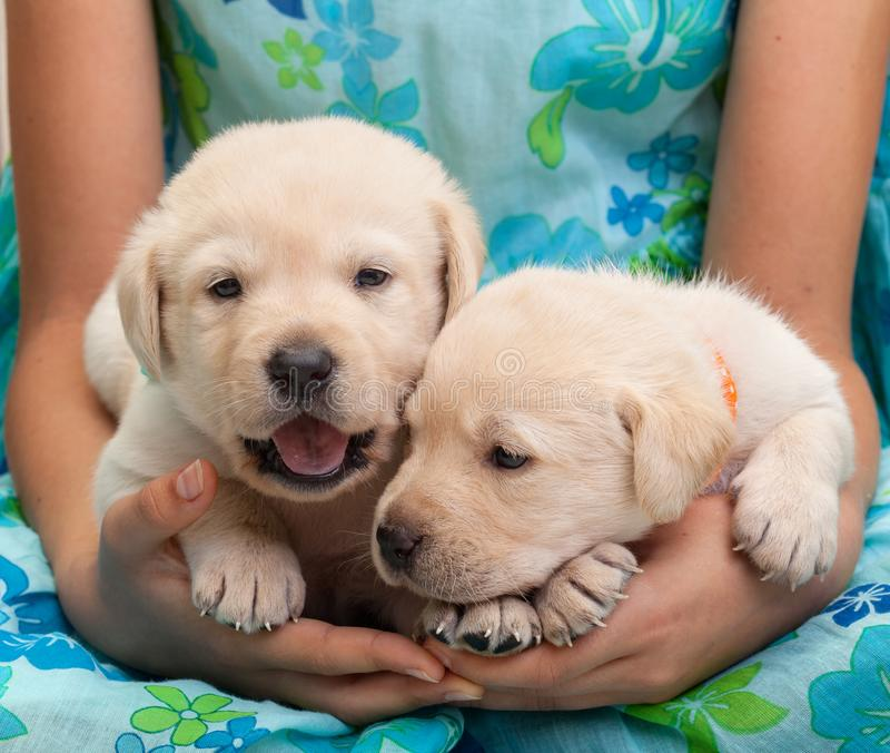 Deux jeunes chiots de Labrador dans des mains de fille photographie stock libre de droits