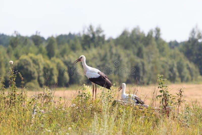 Deux jeunes cigognes blanches sur le fond de forêt photos stock