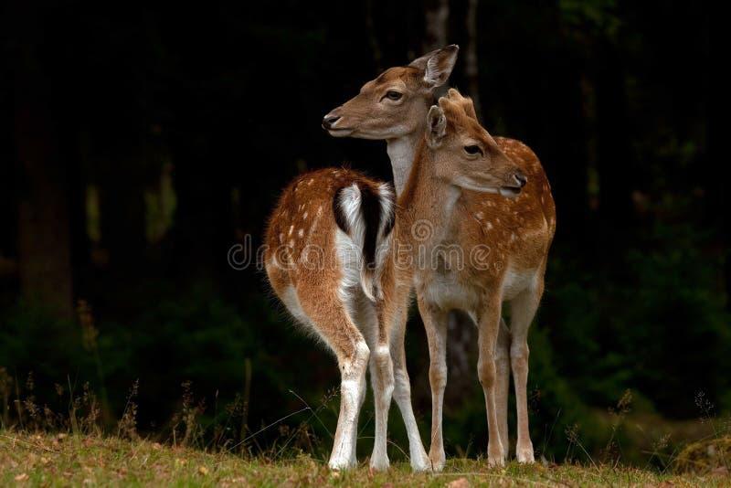 Deux jeunes faon de 1 an des cerfs communs affrichés, d'un mâle et de femelle dans une forêt en Suède photos libres de droits