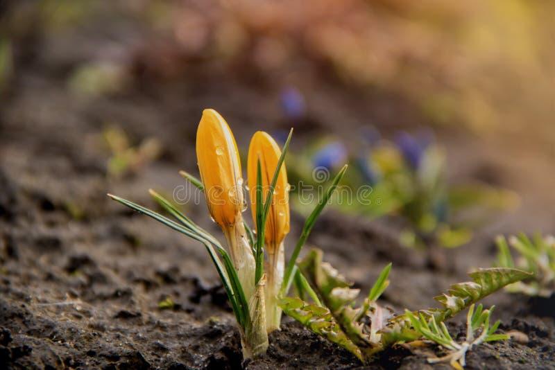 Deux jeunes fleurs de crocus jaune se développent sur un parterre pendant le premier ressort sous un soleil chaud images stock
