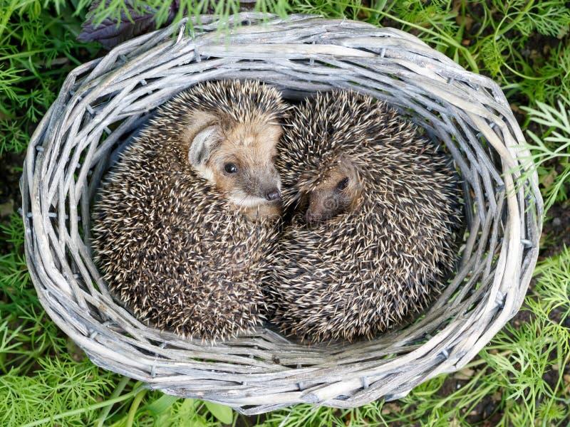 Deux jeunes hérissons mignons se sont courbés à l'intérieur de l'osier des paniers de vigne sur l'herbe verte de l'aneth images stock