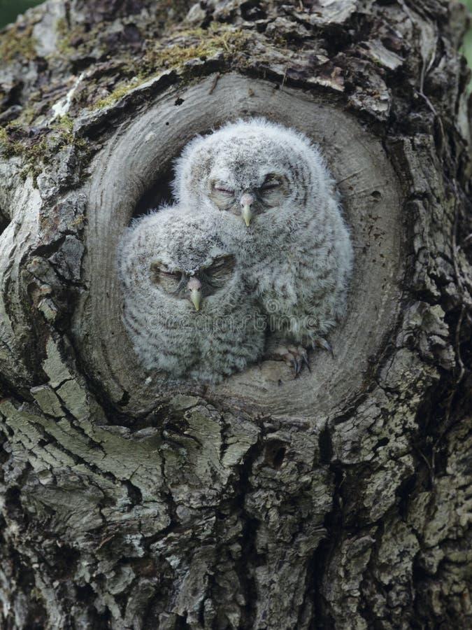 Deux jeunes hiboux dans le noeud d'arbre photographie stock libre de droits