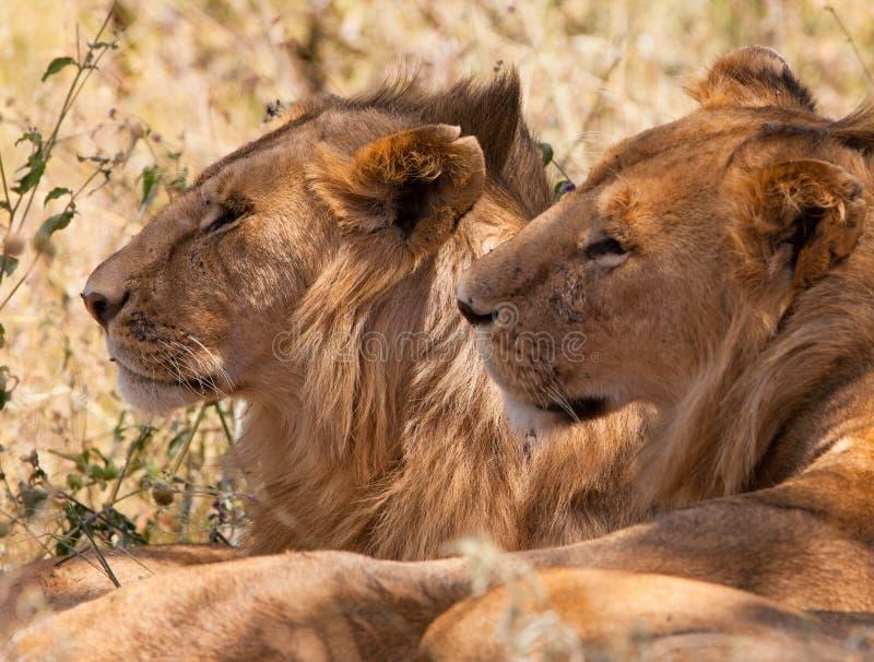Deux jeunes lions mâles de frère photographie stock