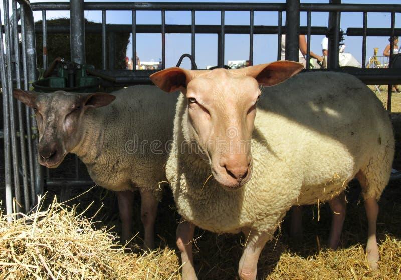 Deux jeunes moutons photographie stock libre de droits
