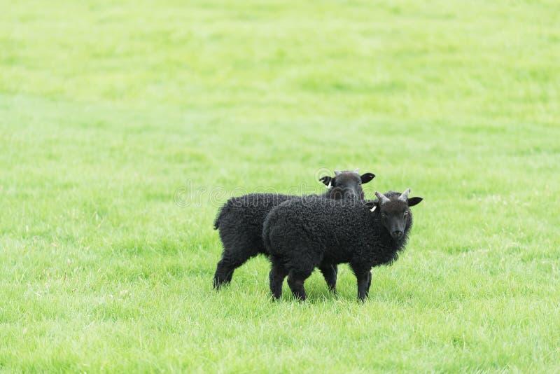 Deux jeunes moutons dans le pâturage en Islande images stock