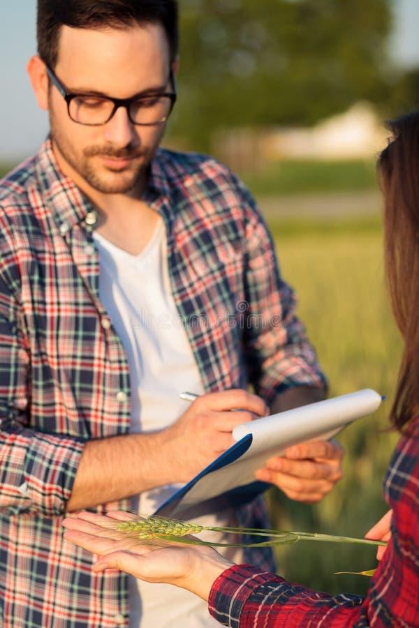 Deux jeunes producteurs sérieux ou agronomes féminins et masculins examinant des tiges d'usine de blé avant la femme de récolte t photographie stock libre de droits