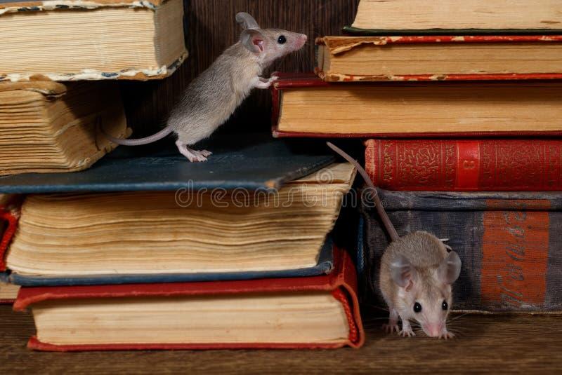 Deux jeunes souris en gros plan sur les vieux livres sur l'étagère dans la bibliothèque photos stock