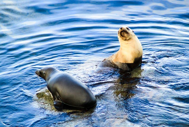 Deux joints sauvages agissant l'un sur l'autre en eau de mer bleue image stock