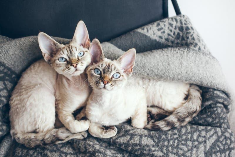 Deux jolis chatons sur le fauteuil se reposant images libres de droits
