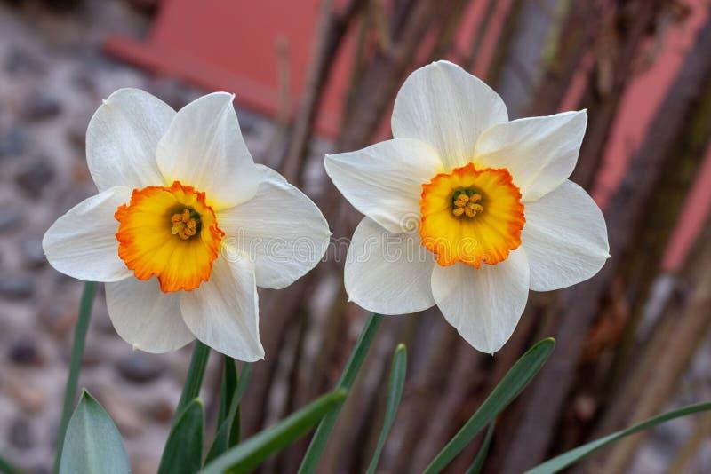 Deux jonquilles blanches avec un centre jaune narcisse image stock