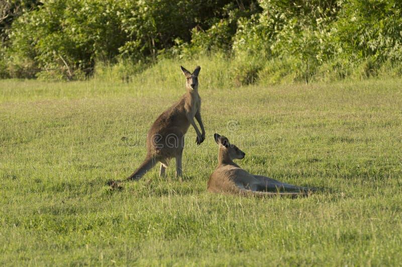 Deux kangourous sur un champ vert images libres de droits