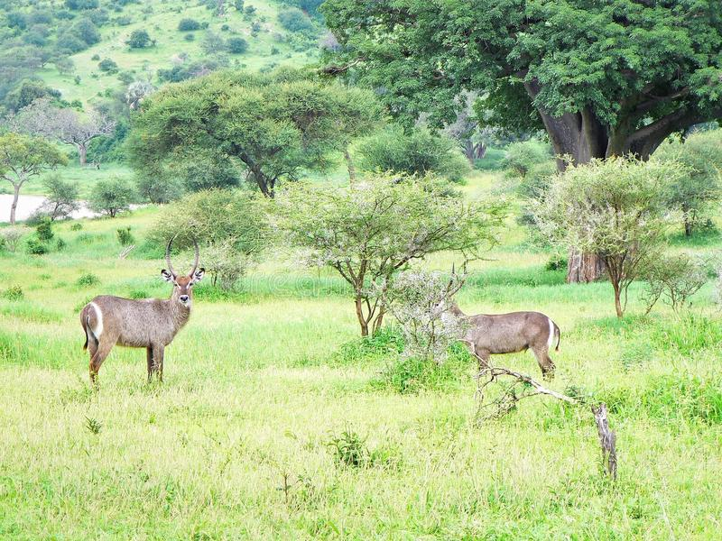 Download Deux Kudu image stock. Image du pâturage, faune, marche - 87704157