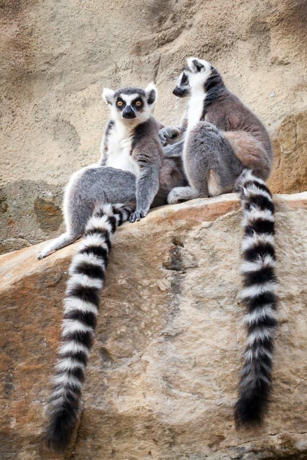 Deux lémurs Anneau-coupés la queue détendant sur un Rockface images libres de droits