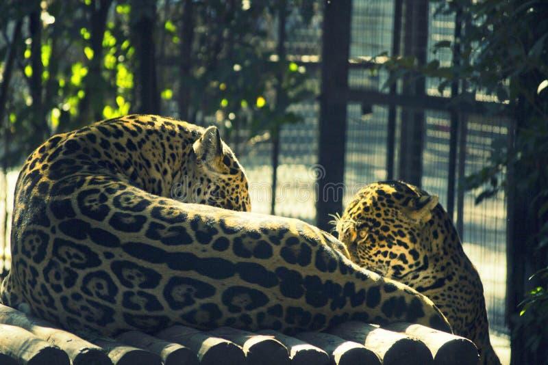 Deux léopards dans le zoo photo libre de droits
