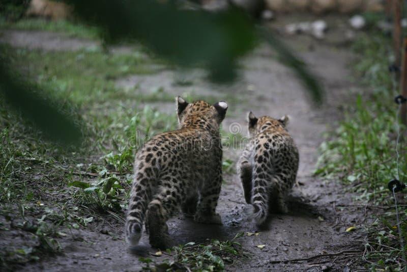 Deux léopards de bébé images libres de droits