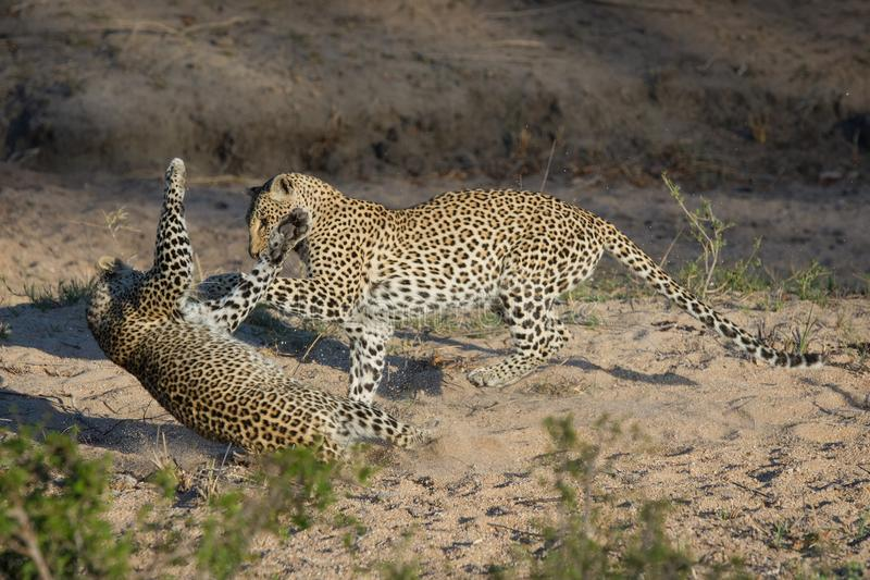 Deux léopards jeu-combattant dans un lit de la rivière sec photos libres de droits