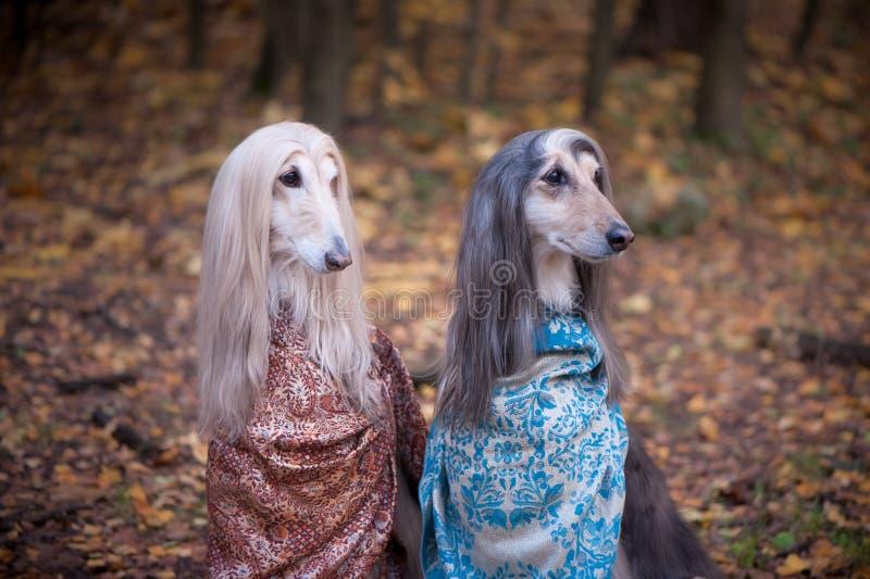 Deux lévriers afghans magnifiques dans de beaux châles photo stock