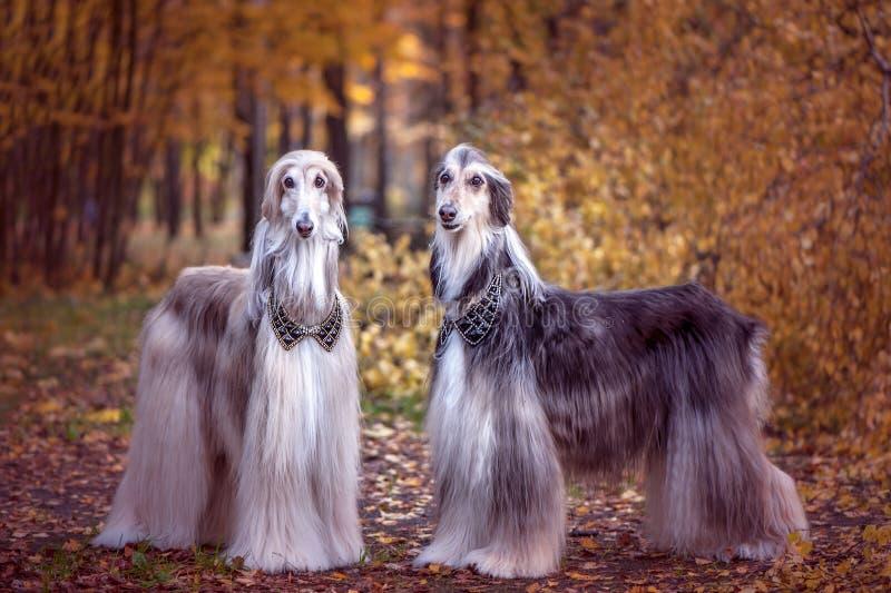 Deux lévriers afghans magnifiques, semblables aux seigneurs médiévaux image stock