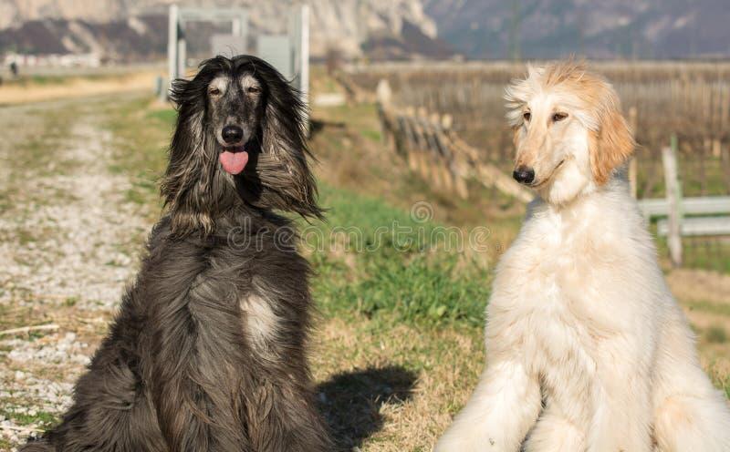 Deux lévriers afghans Portrait Le lévrier afghan est un chien qui est distingué par son manteau épais, fin, soyeux La race était  images libres de droits