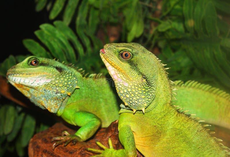 Deux lézards verts dehors image stock