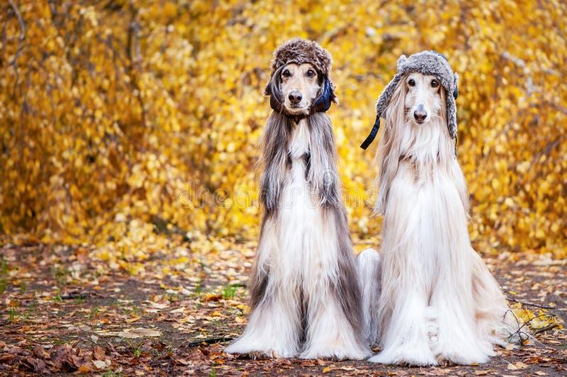 Deux l?vriers afghans ?l?gants, chiens photographie stock