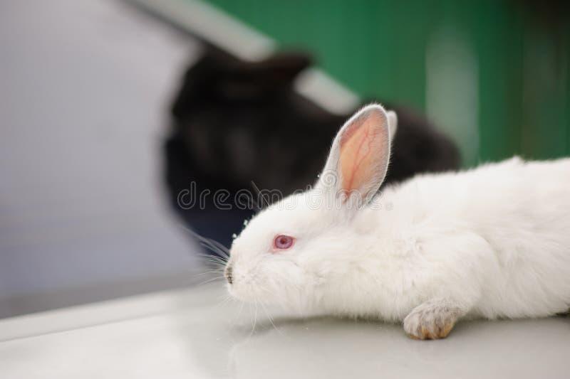 Deux lapins photos stock