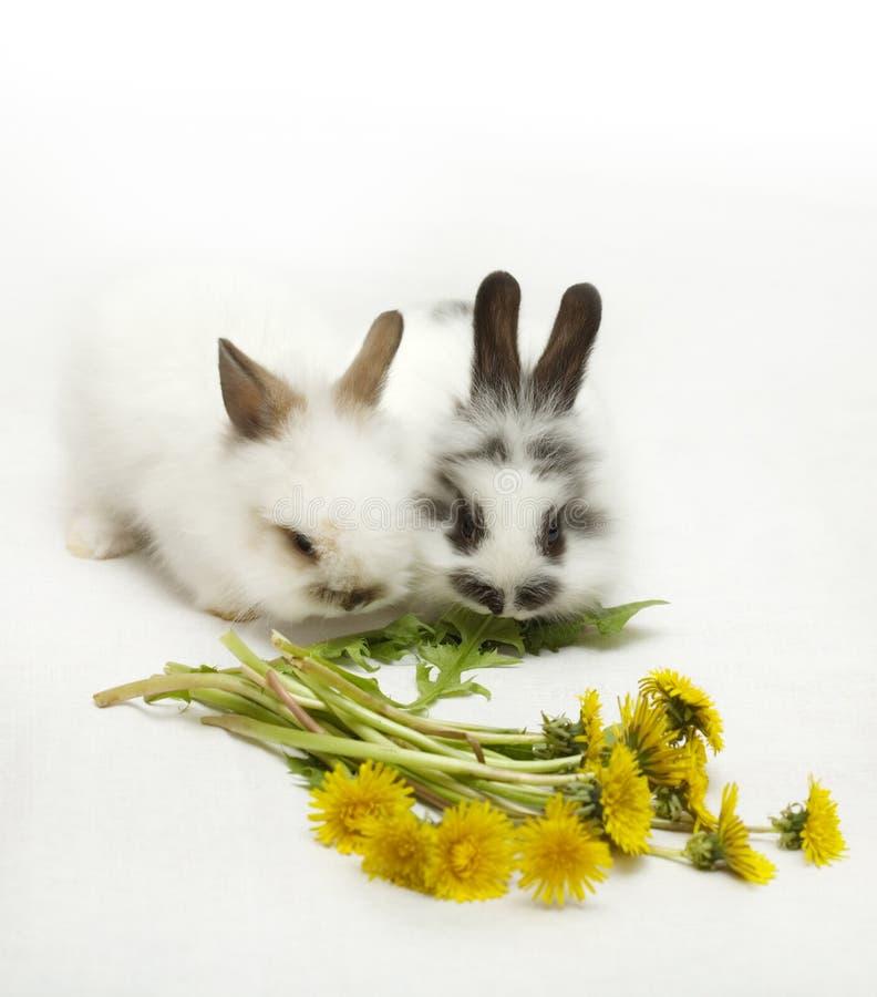 Deux lapins photo stock