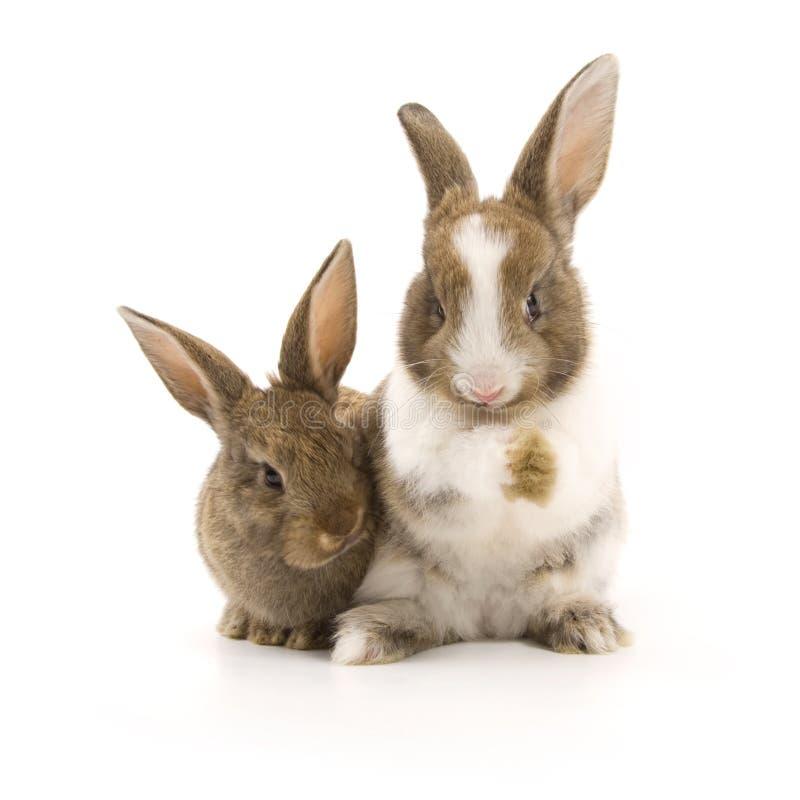 Deux lapins adorables image libre de droits