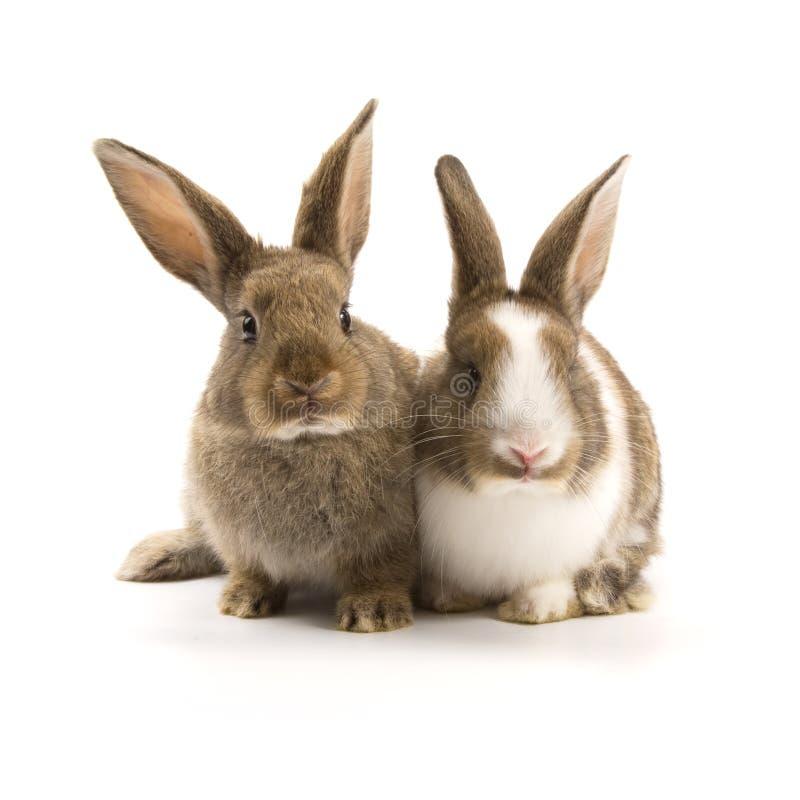 Deux lapins adorables photo libre de droits