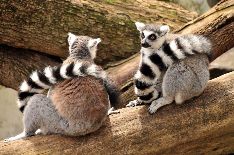 Deux lemurs ring-tailed se reposent sur un joncteur réseau d'arbre photo stock