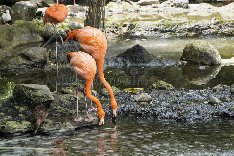 Deux Lesser Flamingos cubain mangeant sur le lac photographie stock libre de droits