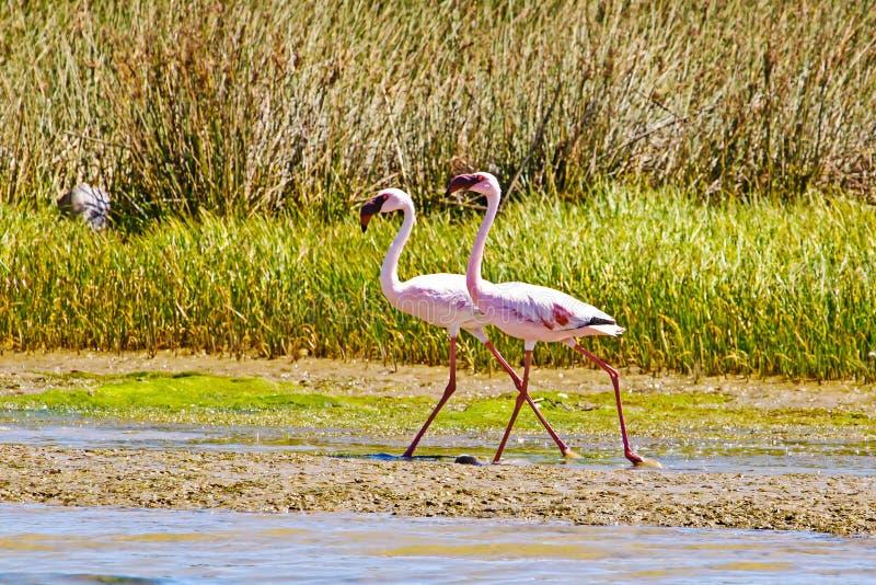Deux Lesser Flamingos progressant le long de la berge photo libre de droits