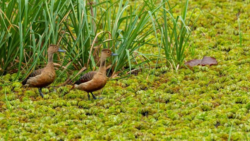 Deux Lesser Whistling Ducks pataugeant sur un champ de laitue d'eau, examinant une distance image stock