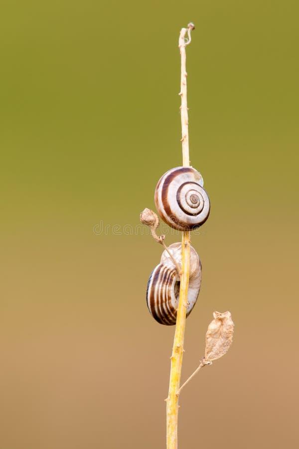 Deux lingots sur une tige sèche d'herbe avec des feuilles - plan rapproché photographie stock libre de droits