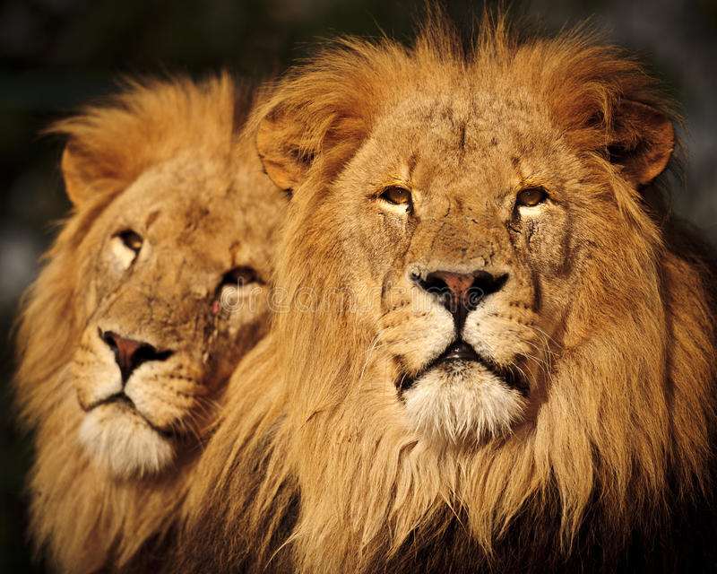 Deux lions mâles photo stock