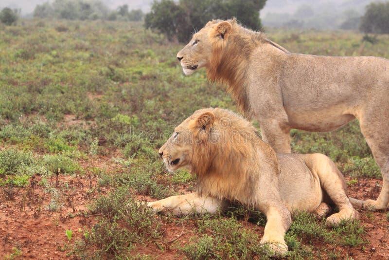 Deux lions mâles africains sauvages image libre de droits
