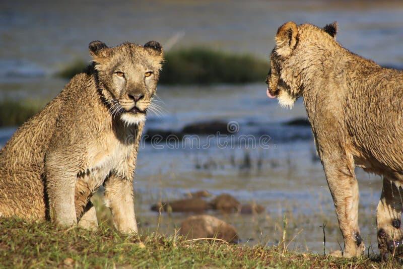Deux lions par le trou d'eau photographie stock libre de droits