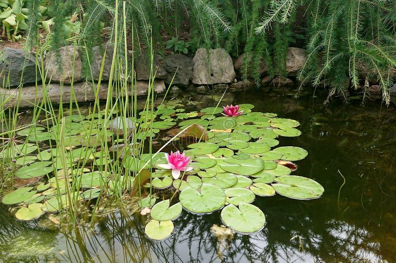 Deux lis d'eau roses photographie stock
